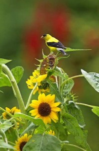 goldfinch sunflower