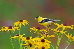 With the right flowers and plants that attract birds, your backyard can be a sanctuary for beautiful goldfinches.